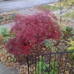 Pam's Japanese maple, fall
